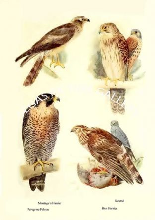 Montagu's Harrier, Peregrine Falcon, Kestrel & Hen Harrier